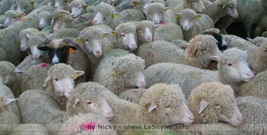 15 Moutons inscrits à l'Ecole de Crêts-en-Belledonne pour éviter une Fermeture de Classe