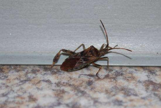 les blattes eas2006 insecte volant maison black bedroom. Black Bedroom Furniture Sets. Home Design Ideas