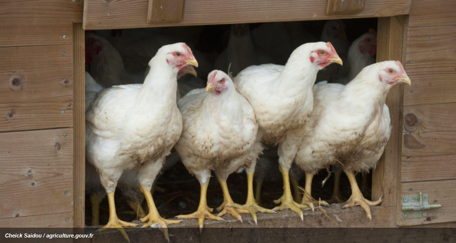 H5N8: Déclaration d'un Foyer d'Influenza aviaire hautement pathogène H5N8 dans une Basse-Cour en Allemagne et Renforcement en France